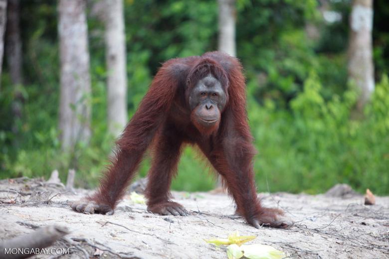 Long armed Orangutan