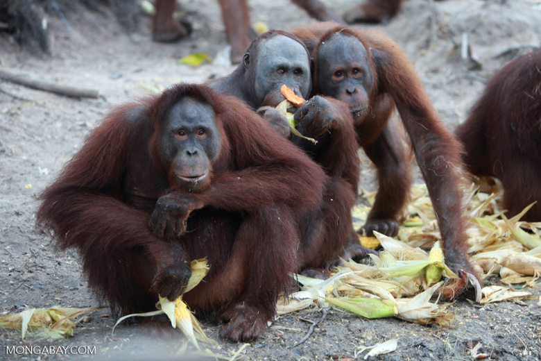 Orangutan contemplates the value of eating corn