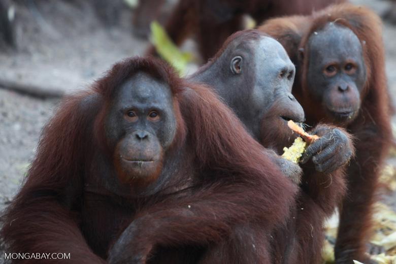 Orangutans feeding on Orangutan island