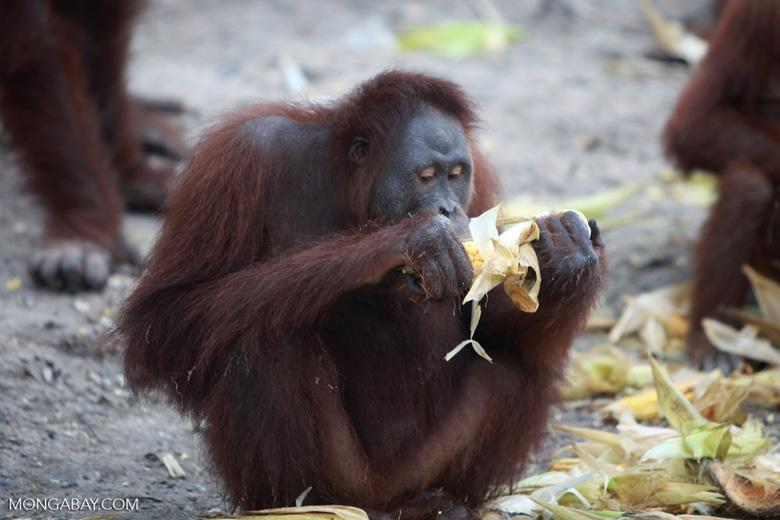 Orangutan eating corn [kalimantan_0211]