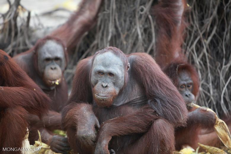 Orangutan eating corn [kalimantan_0216]