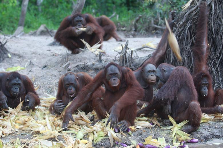 Orangutan defends islands by throwing corn at a passing boat [kalimantan_0228]