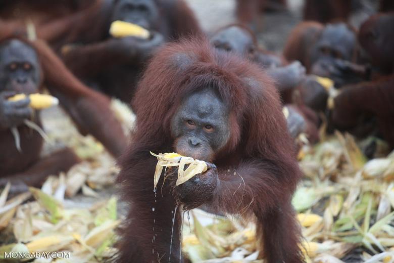 Orangutan enjoying watered down corn