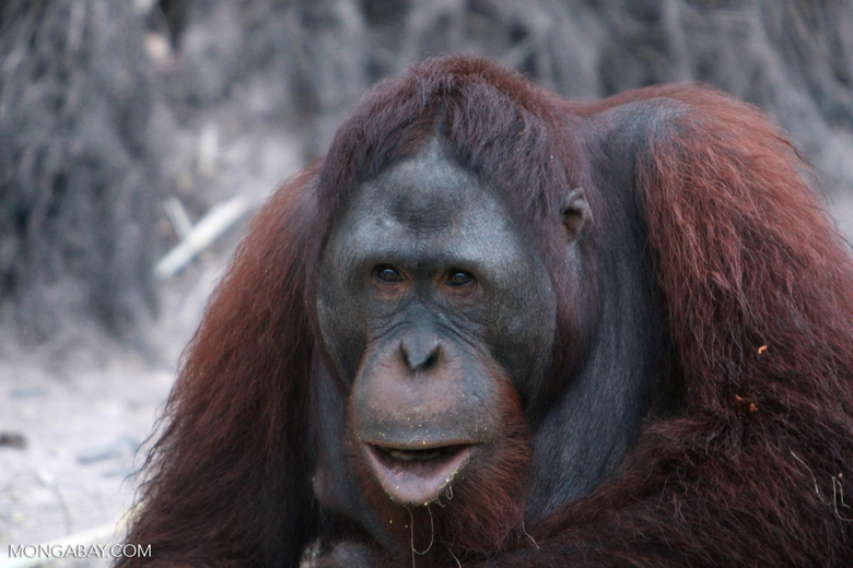 Orangutan makes faces