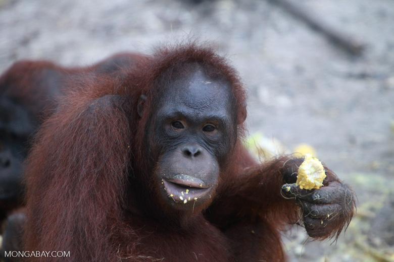 Orangutan with corn on its lips