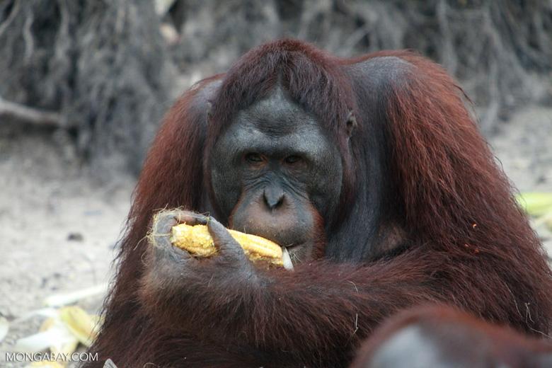 Orangutan eating corn [kalimantan_0278]