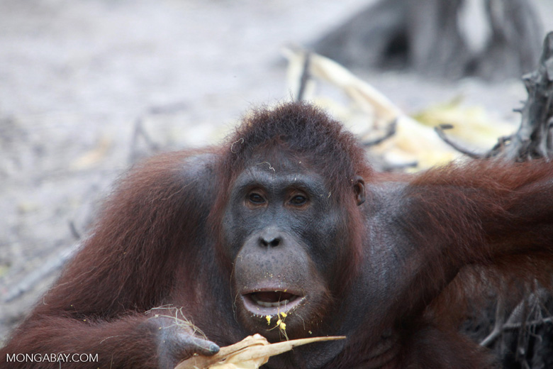 Orangutan eating corn [kalimantan_0289]
