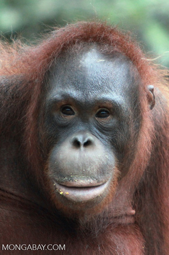 Full Lipped Orangutan [kalimantan_0297]