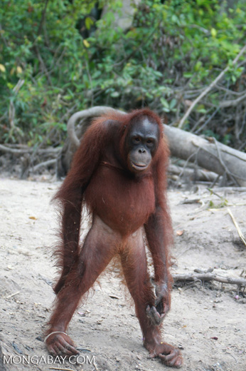 Orangutan stands up on two legs [kalimantan_0301]