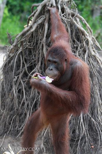 Orangutan eating a flower