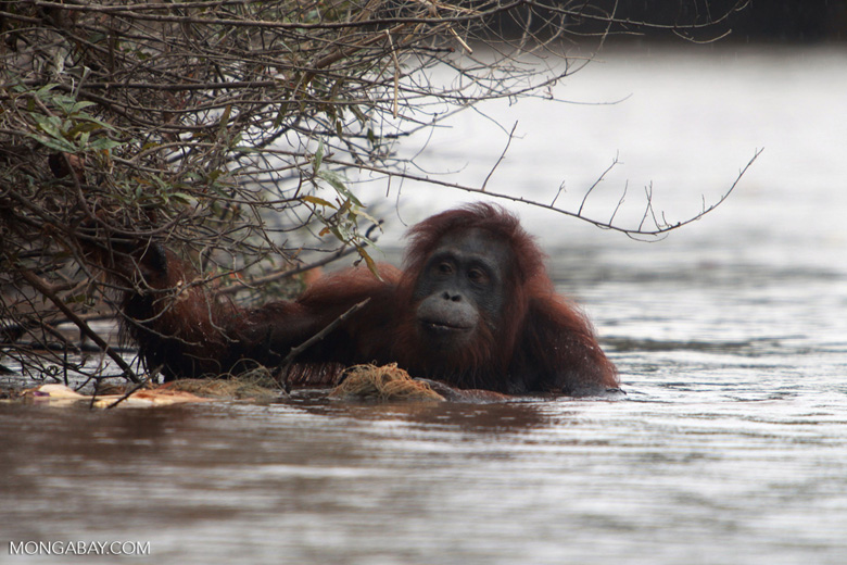 Orangutan wading through the water [kalimantan_0312]