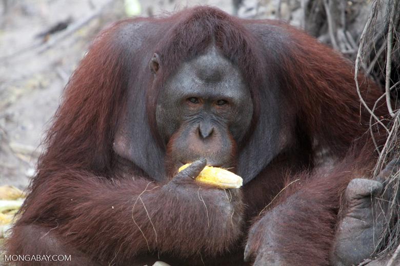 Large Orangutan Eating Corn