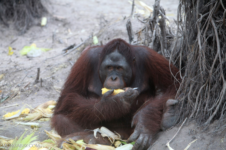 Large Orangutan Eating Corn While Looking to the Side