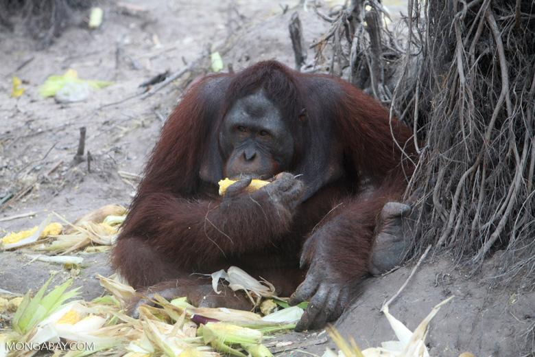 Orangutan walking on its knuckles
