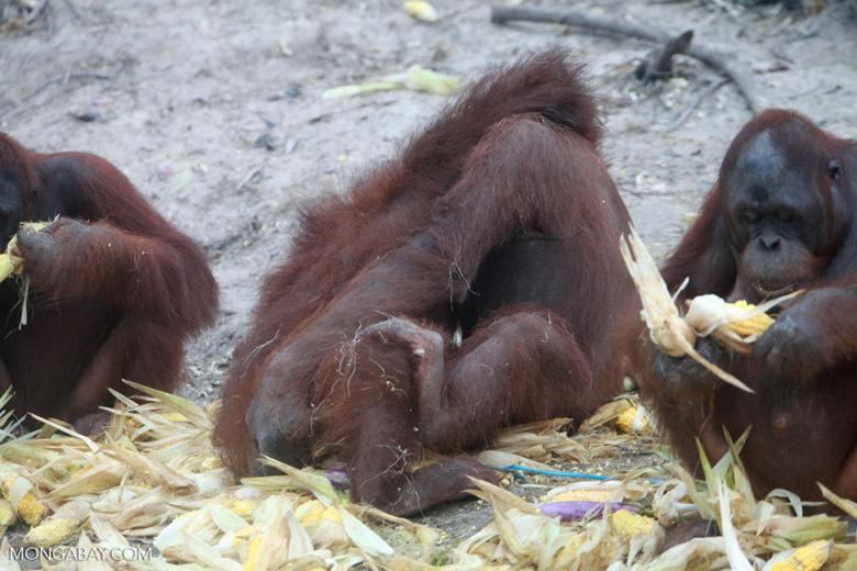 Two orangutans playing