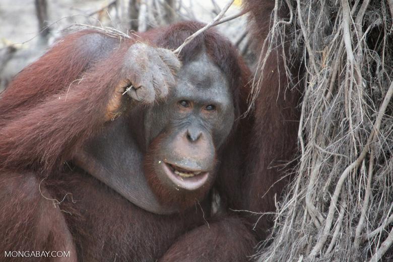 Orangutan investigates brush