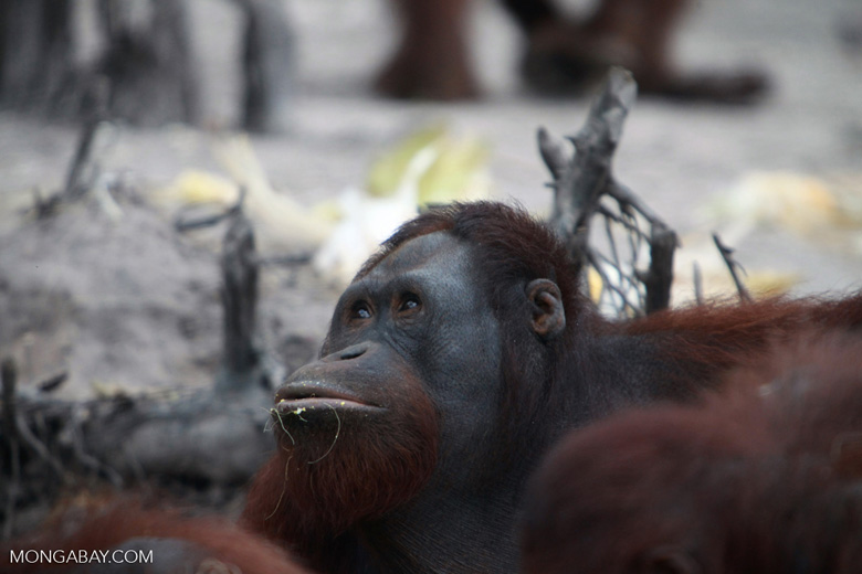 One Orangutan looks up from the feast