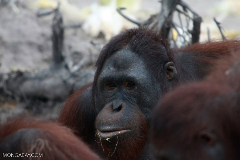 One Orangutan looks up from the feast [kalimantan_0338]