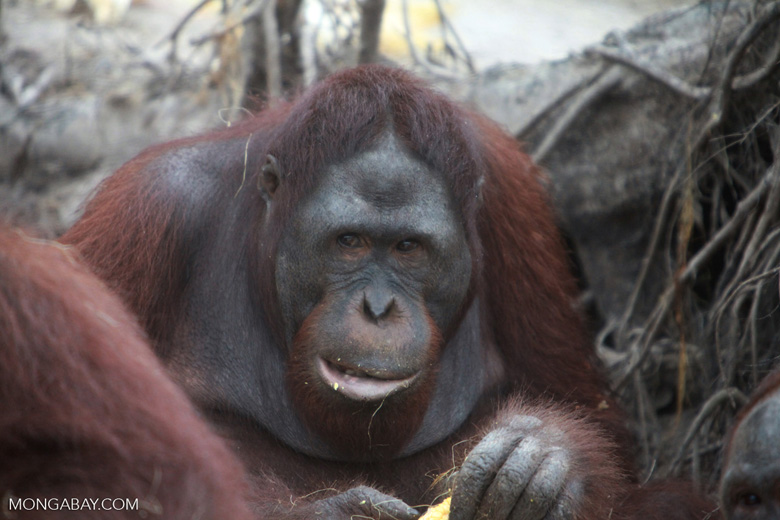 Orangutan making a menancing face