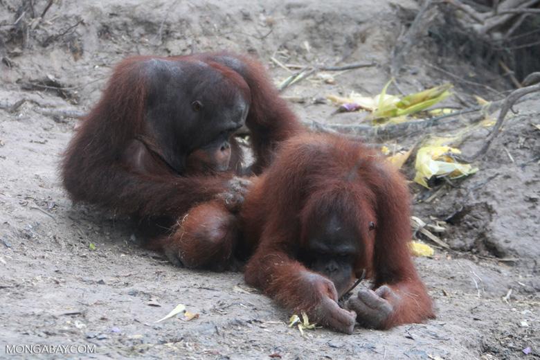 One orangutan examins another