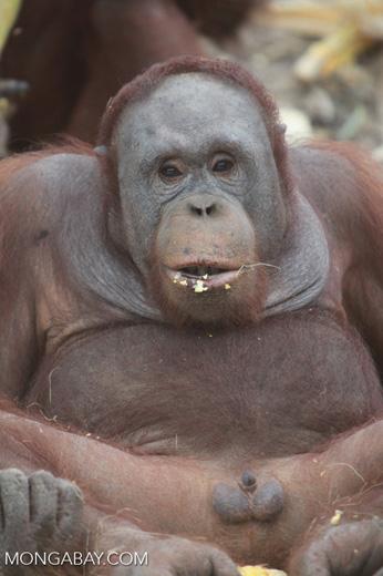Orangutan showing off his penis [kalimantan_0363]