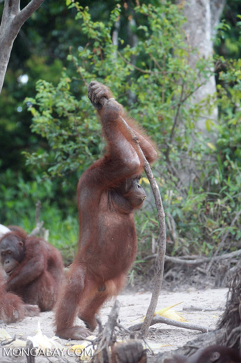 Orangutan leaning on a stick