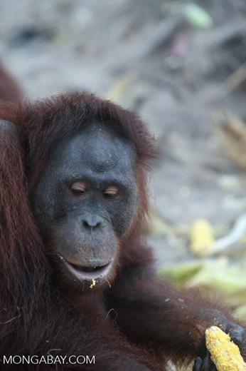Orangutan looking down