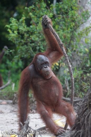 Orangutan with oversized walking stick [kalimantan_0369]