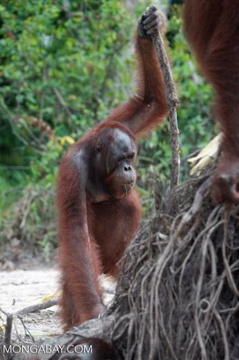 Orangutan with oversized walking stick [kalimantan_0370]