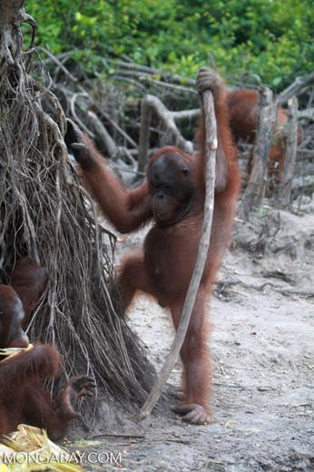 Orangutan with oversized walking stick [kalimantan_0373]