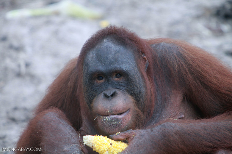 Orangutan eating corn [kalimantan_0375]