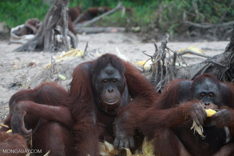 Orangutans eating corn