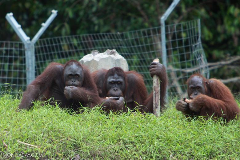 Three Orangutans on a hill [kalimantan_0385]