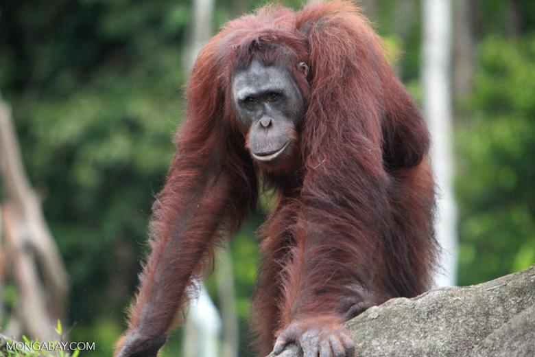 Orangutan on a rock in Central Kalimantan