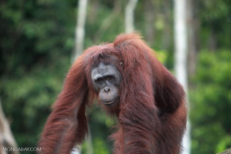 Orangutan on a rock in Central Kalimantan [kalimantan_0389]