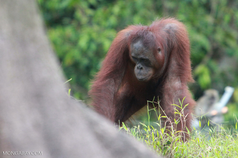 Orangutan in Central Kalimantan [kalimantan_0402]