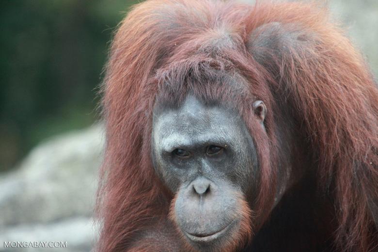 Orangutan in Central Kalimantan [kalimantan_0404]