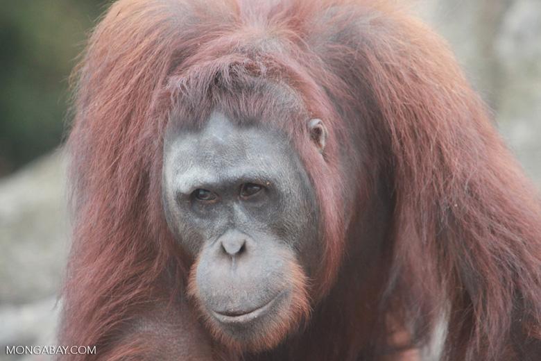 Orangutan in Central Kalimantan [kalimantan_0405]