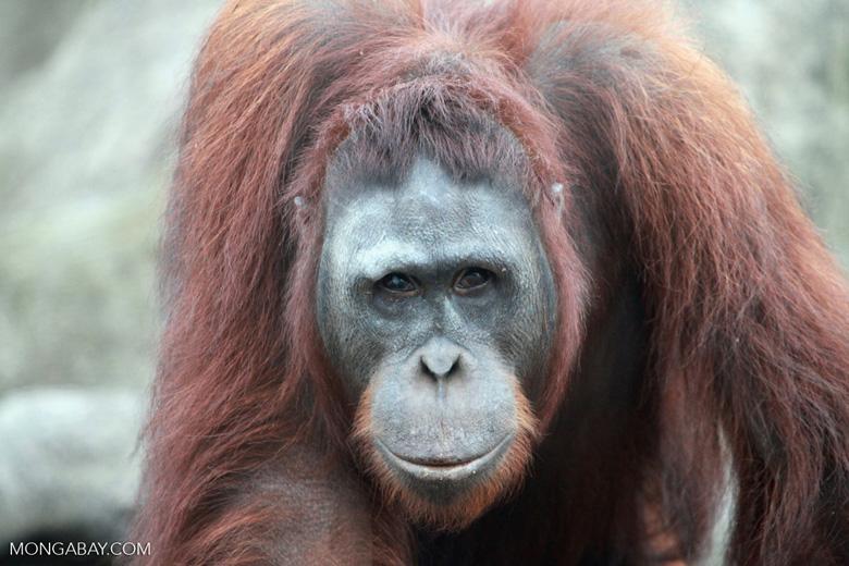 Large Orangutan Looking into Camera [kalimantan_0422]