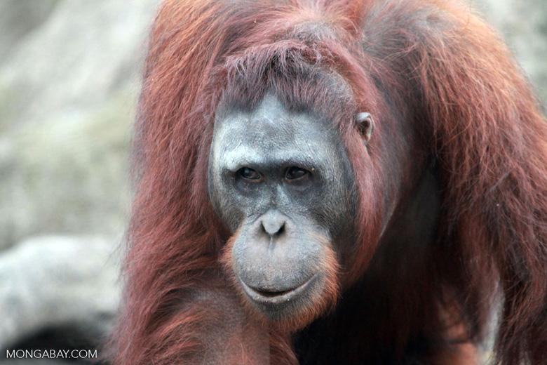 Large Orangutan Looks Askance [kalimantan_0424]
