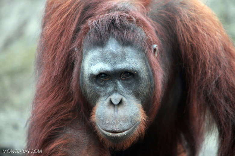 Large Orangutan Looking into Camera