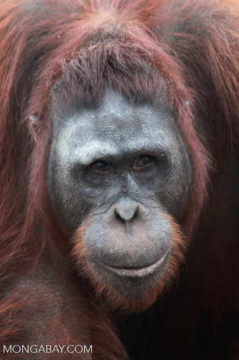 Large Orangutan Looks Askance