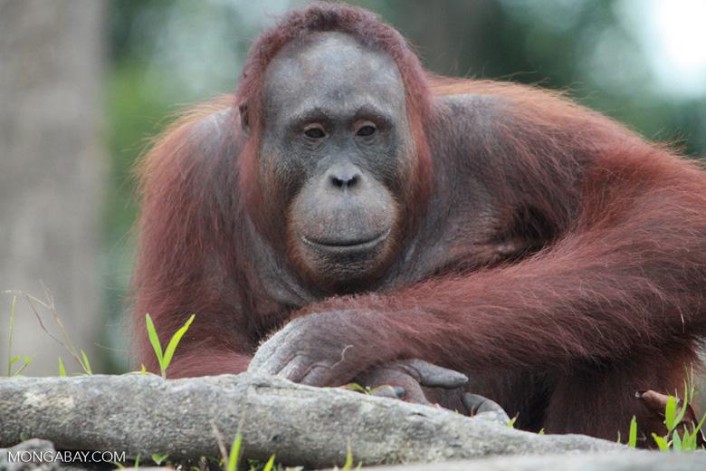 Orangutan relaxing against rock