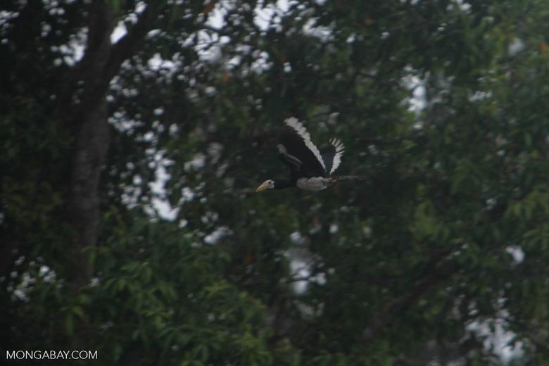 Oriental Pied Hornbill in flight [kalimantan_0456]