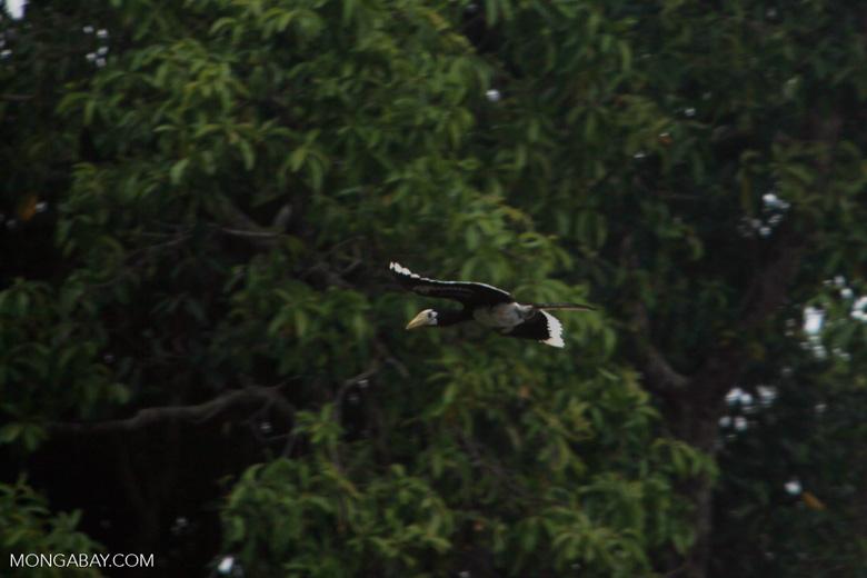 Oriental Pied Hornbill in flight [kalimantan_0457]