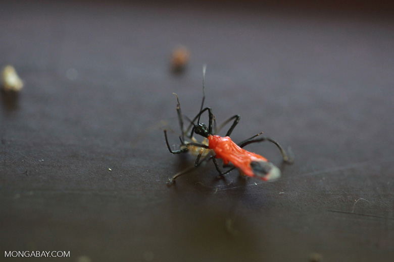 Red and black weevil eating a spider [kalimantan_0459]