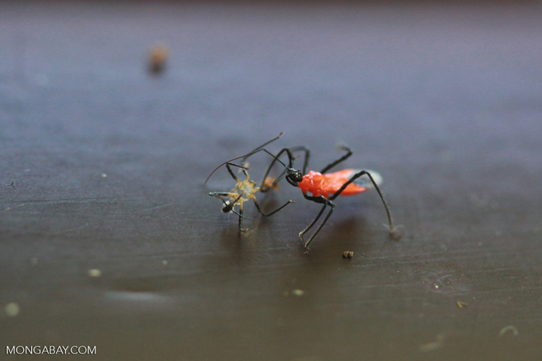 Red and black weevil eating a spider [kalimantan_0463]