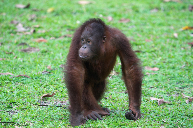 Young Orangutan walking on its knuckles