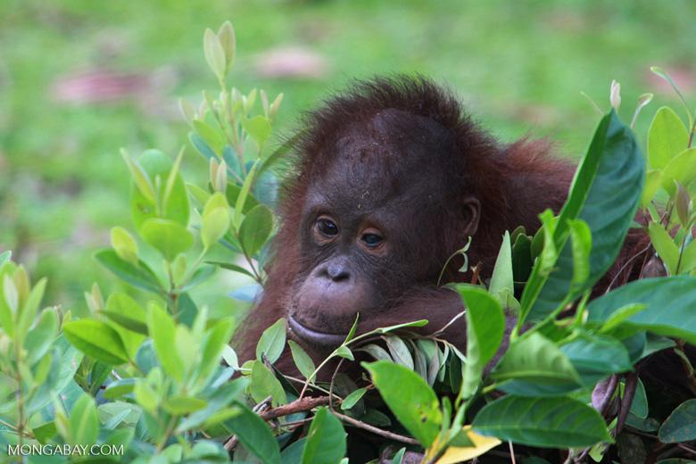 Orphaned Orangutan in Central Kalimantan [kalimantan_0471]