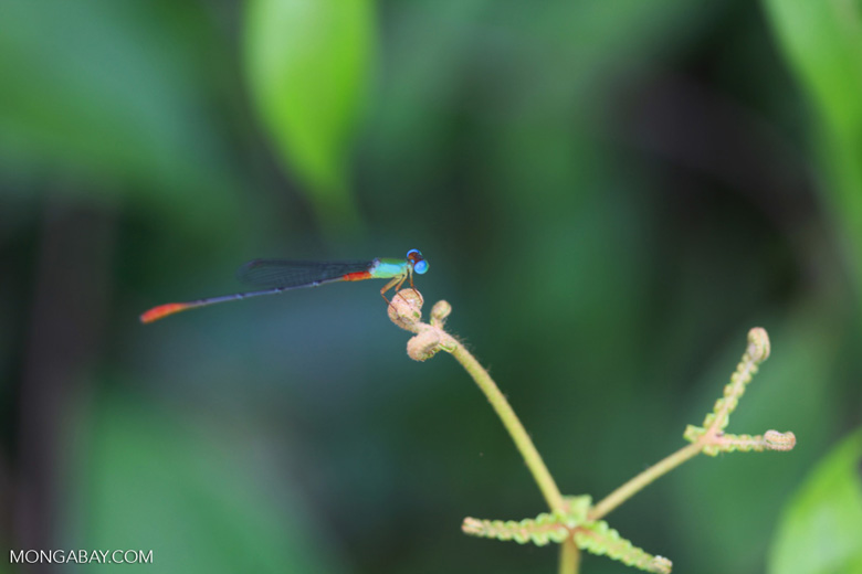 Red, green, and turquoise damselfly [kalimantan_0472]